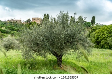 Olive tree in Sicily, souther Italy