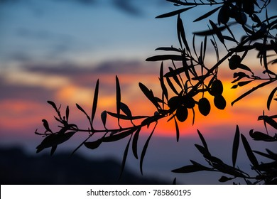 Olive tree in Sicily with sunrise in background