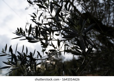 Olive tree silhouette with sun flare
