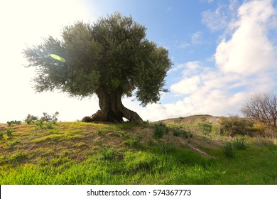 The olive tree is a small tree. Its scientific name is Olea europaea. A long time ago, it came from the coastal areas of the eastern Mediterranean, from Syria and the maritime.