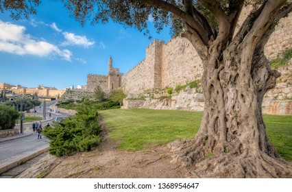 An olive tree stands in front of the ancient walls of the old city of Jerusalem with the Tower of David in the background.