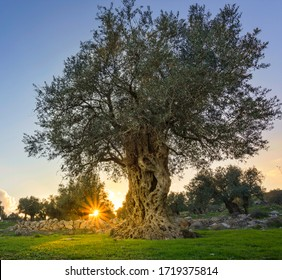 Olive tree with sunburst in the background, grown by monks of Mar Elias Monastery for olive oil, Jerusalem Israel