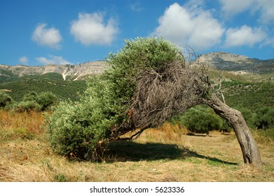 Olive tree. Thassos, Greece