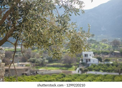 Olive tree and vathy village in the background,Kalymnos Island,Greece