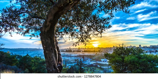 Olive tree with view of Jerusalem at sunset