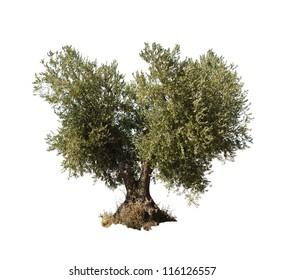 Olive tree white isolated.