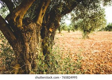 Olive tree wood base