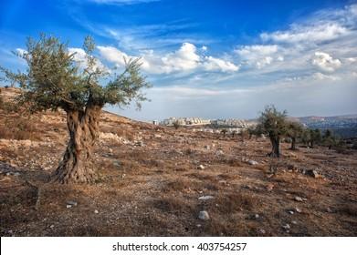 olive tree, wood, israel, palestine, beautiful scenery