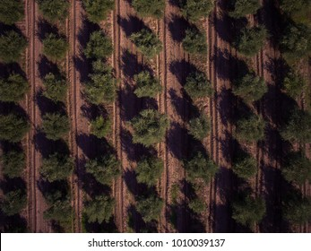 Olive trees from above