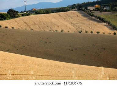 Olive trees among growing grain  on rolling hills of Abruzzo. Italy