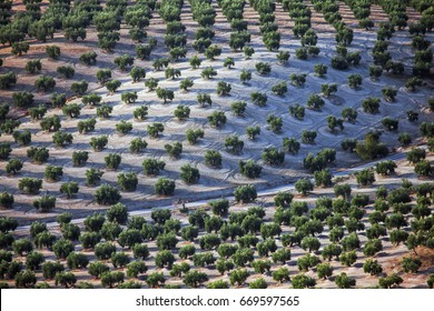 Olive trees in Andalusia, Spain