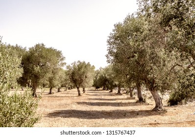 Olive trees in Apulia, Italy.