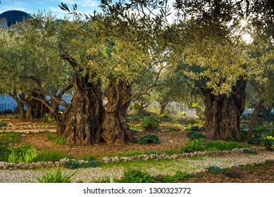 Olive trees in the biblical Garden of Gethsemane, where Jesus prayed before his betrayal and capture - Mount of Olives, Jerusalem