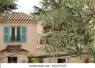 Olive trees in Cannes, France.