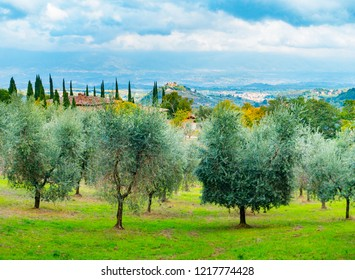 Olive trees in Chianti overlooking Montaio, Cavrglia and Valdarno in autumn, Tuscany, Italy