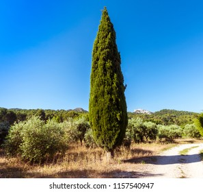Olive trees and cypress at St Remy de Provence. Buches du Rhone, Provence, France.