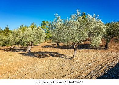 Olive trees during summer on Rhodes Island (Rhodes, Greece)