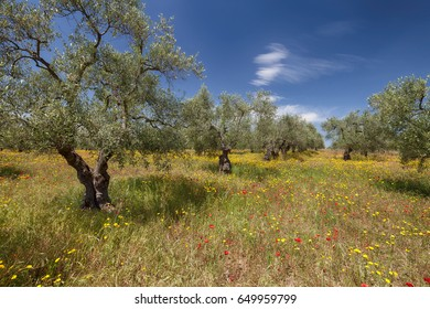 Olive trees garden and colorful spring meadow in area of Bari, Puglia, Italy
