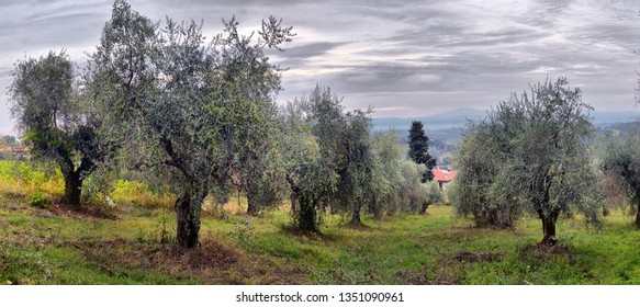 Olive trees garden. Mediterranean olive field ready for harvest. Italian olive's grove with ripe fresh olives. Olive farm.