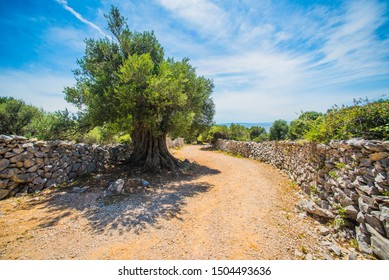 Olive Trees Garden, Mediterranean old olive field. Croatia olive grove, Lun, island Pag. - Image