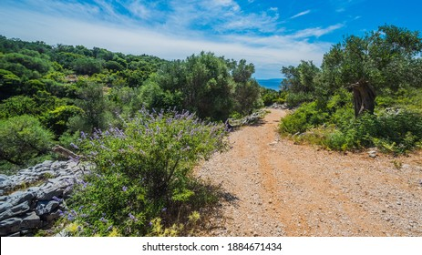 Olive Trees Garden, Mediterranean old olive field. Croatia olive grove, Lun, island Pag - Image