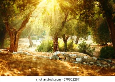 Olive trees garden. Mediterranean olive orchard with old olive tree. Vintage toned rural scene