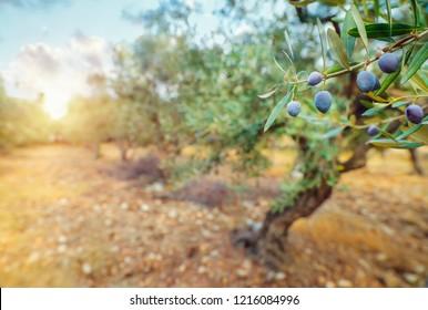 Olive trees garden in mild sun light, cultivation of a black olives,  olive oil production, autumn harvest season concept