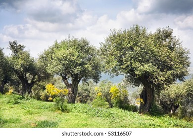 Olive trees in a garden in the spring cloudy in the afternoon, Israel