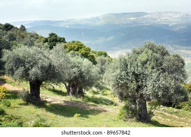 Olive trees in a garden in the spring cloudy in the afternoon, mountain Favor,Israel