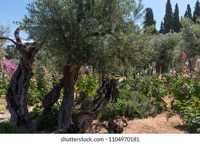 Olive trees in Gethsemane garden at the foot of the Mount of Olives in Jerusalem. Judas betrayed Jesus in this place a night before his Crucifixion