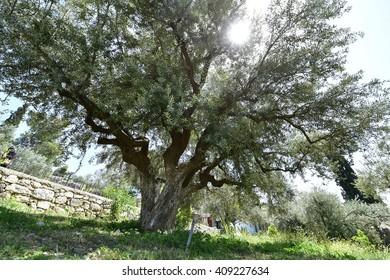 Olive trees in Gethsemane garden, Israel