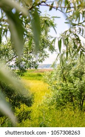 olive trees, grass and river in the distance