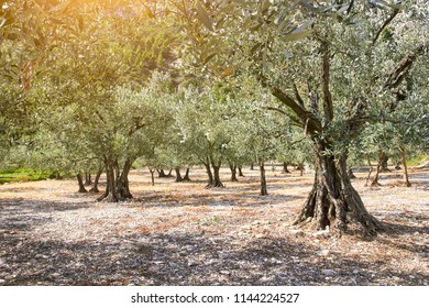 Olive trees grove. Provence, France