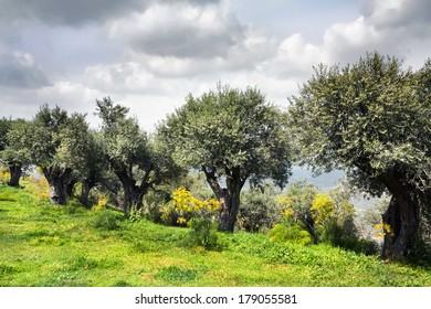 The olive trees growing on a slope of a sacred bible place -  on a mountain Favor, Israel