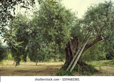Olive trees in Italy, harvesting time. Olive trees garden, mediterranean olive field ready for harvest. Olive grove. Raw ripe fresh olives, image toned.