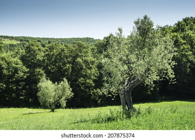 Olive trees in Italy, Tuscany
