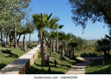 Olive trees and lavender bushes near Meknes, Morocco, Africa