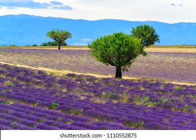 Olive trees and lavender fields at Valensole, Provance, France. Famous travel destination
