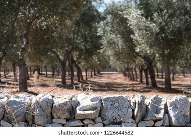 Olive trees in lines in an olive grove near Alberobello in Puglia, South Italy. Stone wall in foreground.