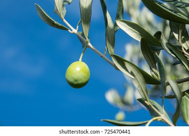 Olive trees with many green fruits on blue sky background