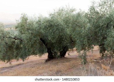 Olive trees in a Mediterranean grove with dry soil and gentle slope