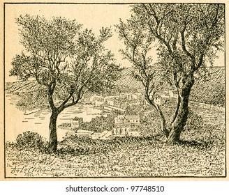 Olive trees - old illustration by unknown artist from Botanika Szkolna na Klasy Nizsze, author Jozef Rostafinski, published by W.L. Anczyc, Krakow and Warsaw, 1911 - Shutterstock ID 97748510