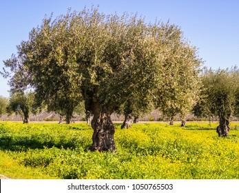 Olive trees (olea europaea) in Alentejo region, Portugal