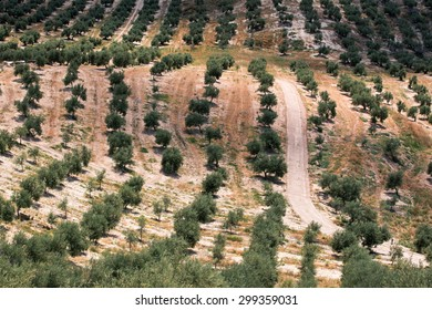 Olive trees on hills in Jaen province, Spain