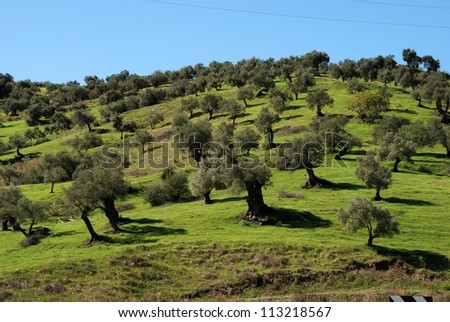 Olive trees on hillside, Guaro, Malaga Province, Andalusia, Spain, Western Europe.