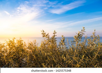 Olive trees on sunrise in Italy