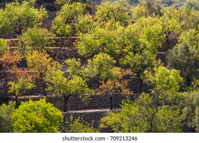 Olive trees on terraces medicean oil trees mallorca