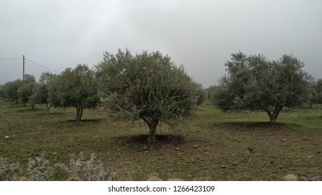 Olive trees at plantation area, Golan Highlands