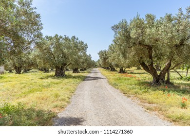 Olive trees plantation in Calabria, Italy