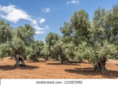 Olive trees plantation in Salento, Italy